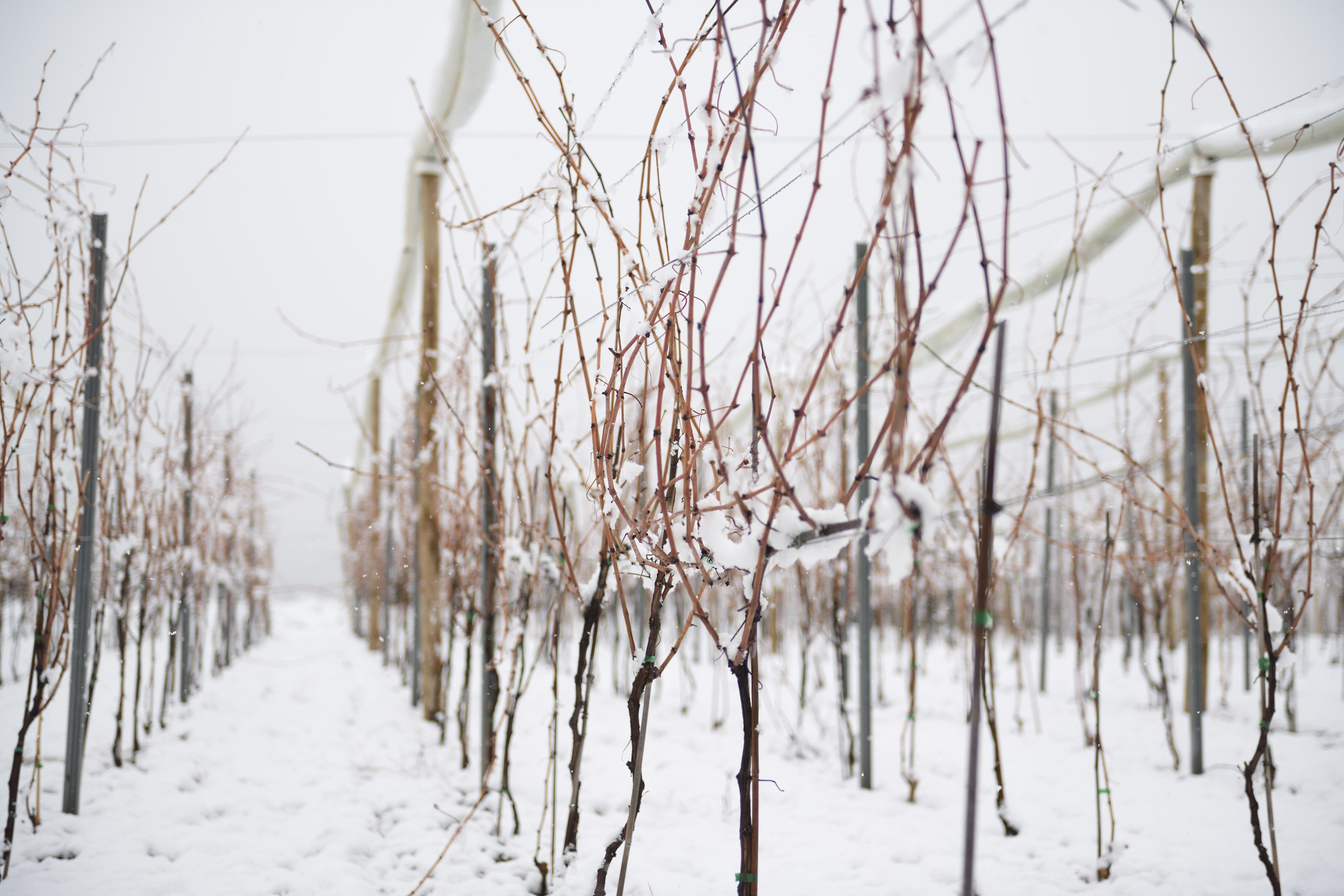 Beneficios de la nieve para la vid y el vino