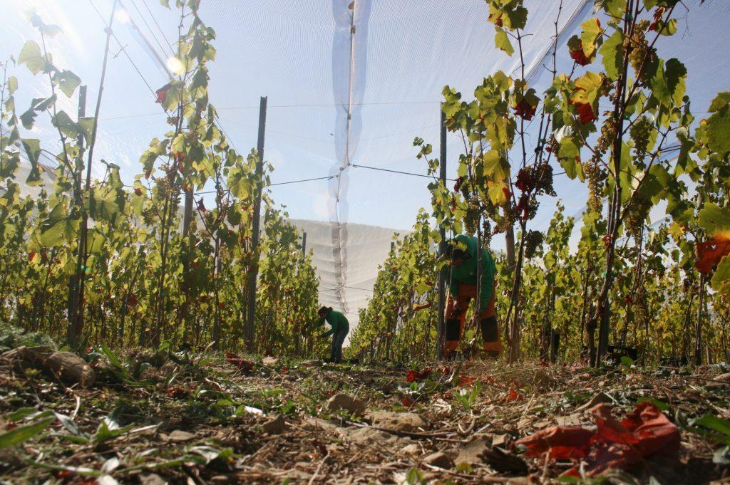 Pilar y Ernest en plena vendimia en las viñas de Barbenuta